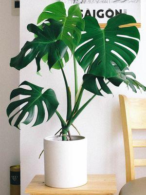 Ilustrasi tanaman hias Monstera deliciosa (kiri) di dalam ruangan.