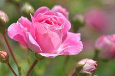 Cara Mengusir Lebah Pemotong Daun dari Tanaman Bunga Mawar