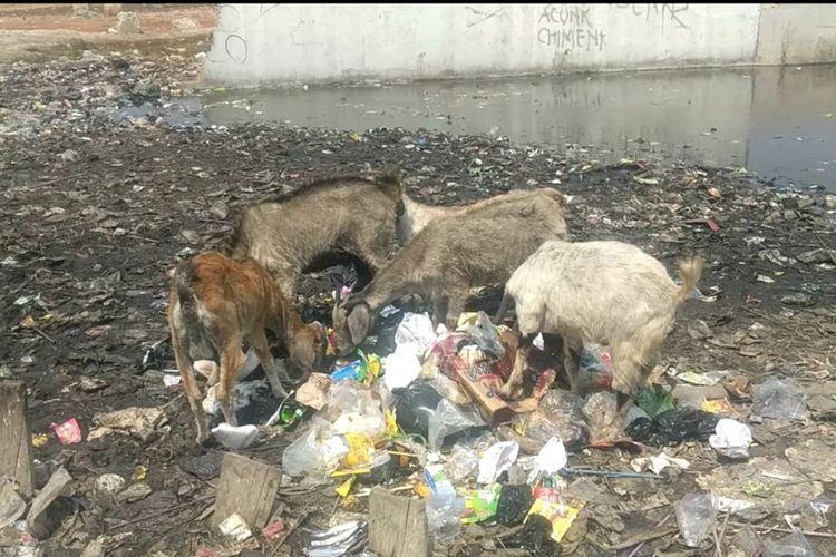 kambing-kambing makan sampah di lautan sampah Kampung Bengek, Penjaringan, Jakarta Utara