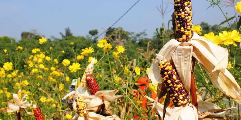 Jagung warna-warni di kebun Canari Farm Cianjur, Jawa Barat, Sabtu (22/6/2019). Varian Jagung yang sedang menjadi tren di Eropa dan Amerika Latin ini memiliki harga yang cukup tinggi, di tingkat petani harganya mencapai Rp 8.000 hingga Rp 9.000 per kilogram.