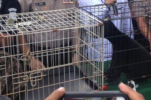 Piara Orang Utan, Harimau, dan Beruang Madu, Pengusaha Ditangkap