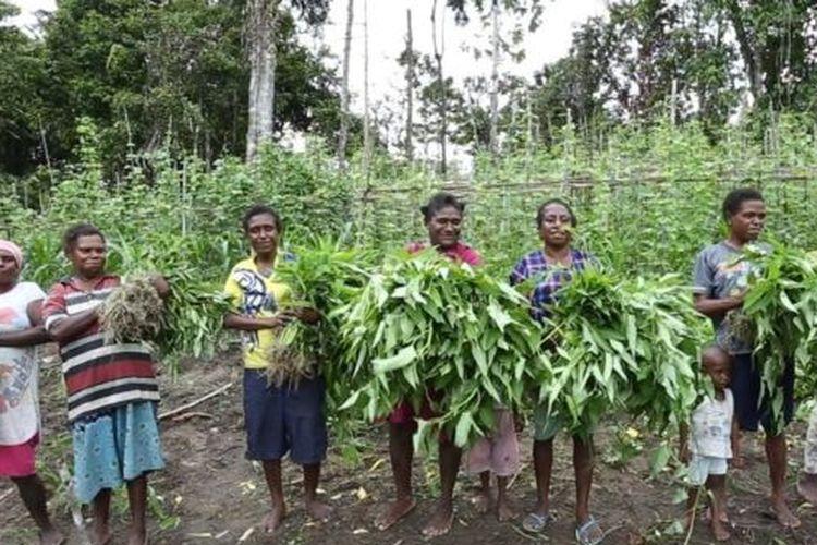Sejumlah warga di Papua melakukan kegiatan berkebun massal untuk mencukupi kebutuhan pangan secara mandiri.