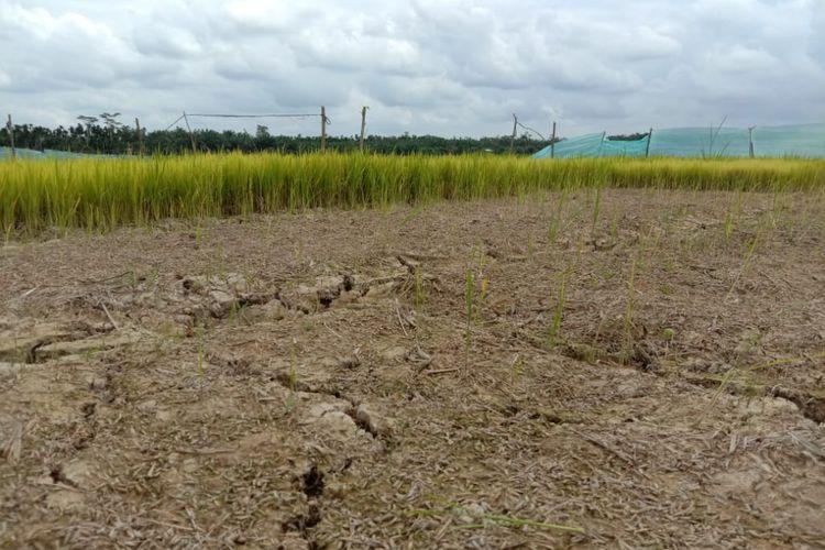Area sawah kekeringan di Desa Seuneubok Baro, Kecamatan Cot Girek, Aceh Utara, Selasa (28/1/2020)