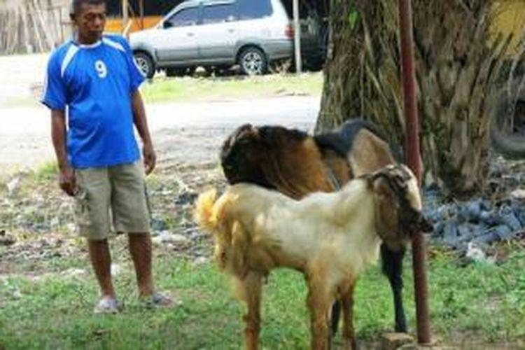 Kambing etawa berkaki tiga milik penjual hewan kurban Obet di Prabumulih menarik minat warga dan pembeli hewan kurban, Kamis (10/10/2013). Kambing unik ini sudah banyak yang menawar, tetapi tak dijual.