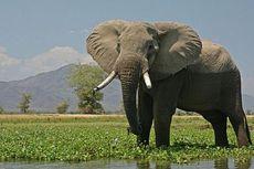 Turis Belgia Tewas Diinjak Gajah di Kenya