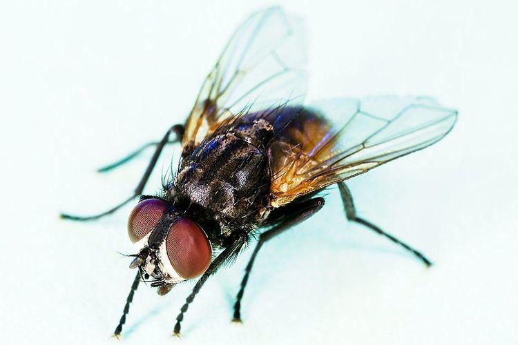 Ilustrasi lalat rumah atau housefly