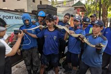 Cerita Anggota Pasukan Biru Pancing Ular Sanca ke Luar dari Gorong-gorong