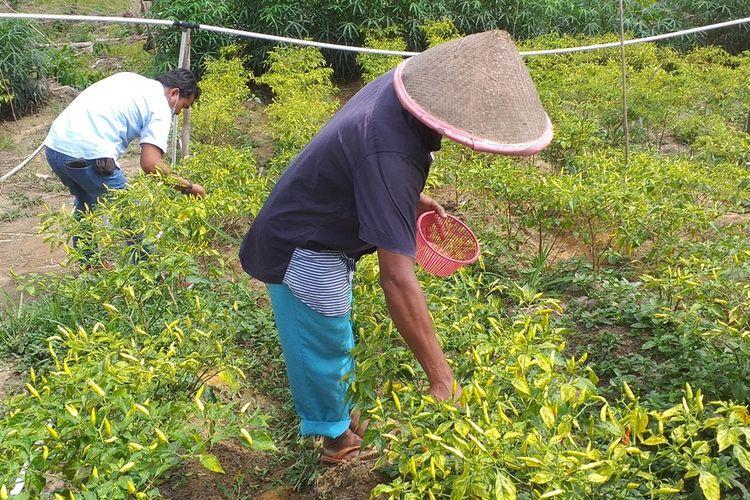 Salah seorang anggota kelompok tani Berkat Usaha memanen cabai rawit yang berbuah lebat berkat pupuk kascing yang dihasilkan dari budidaya cacing merah di Kelurahan Ukui, Kecamatan Ukui, Kabupaten Pelalawan, Riau, Sabtu (24/10/2020).