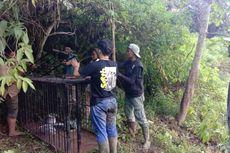 Upaya BKSDA Tangkap Harimau yang Mangsa Kerbau Warga di Agam, Pasang 2 Perangkap Berisi Kambing dan Anjing