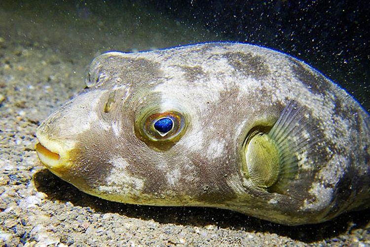 Pufferfish atau ikan buntal di Tasitolu, Dili, Timor Leste.