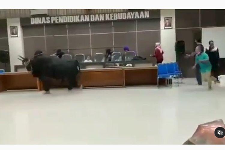Viral video sapi lepas di Disbud Bondowoso
