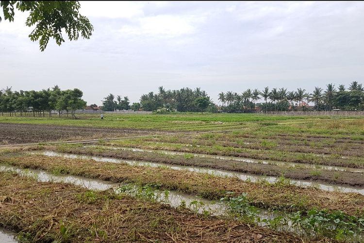 Lahan pertanian milik Bagas yang sebagian terlihat sudah panen, dan beberapa sedang masa penanaman, Kamis (14/3/2019)