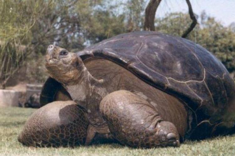 Speed, kura-kura raksasa Galapagos, sudah hidup di kebun binatang San Diego, AS sejak 1933.