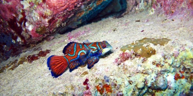 Jenis ikan Mandarin Fish yang berada di laut Teluk Pasarwajo, Kabupaten Buton, Sulawesi Tenggara. Ikan ini sangat jinak bila didekati.