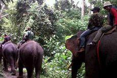 Setelah 10 Bulan, Puluhan Gajah Liar Digiring Kembali ke Habitatnya