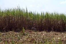 Ini Jurus PTPN III agar Indonesia Tak Bergantung pada Gula Impor
