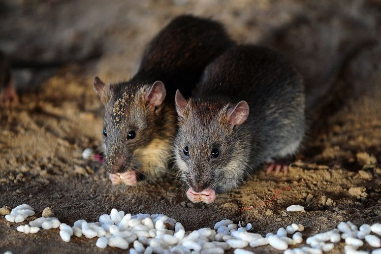 ilustrasi tikus sebagai pemeran utama pengantar hantavirus.