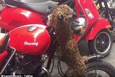 Gerombolan Lebah Datang ke Sydney dan Bersarang di Setang Sepeda Motor