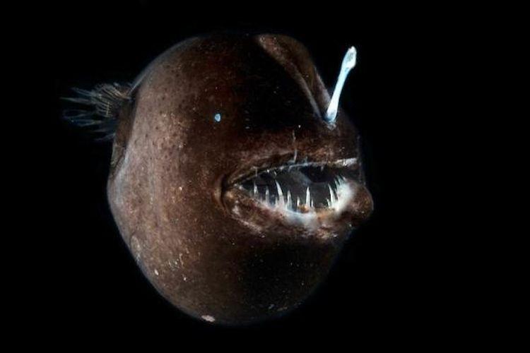 Ikan sungut ganda (anglerfish)