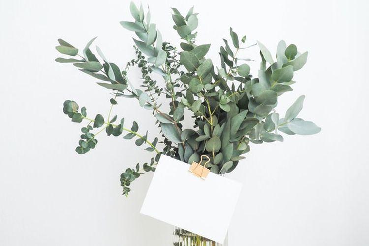 Ilustrasi tanaman eucalyptus