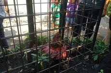 Bunga Bangkai di Bekasi Dikerangkeng