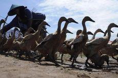 Banyak Itik Mati Mendadak, Situbondo Waspada Flu Burung