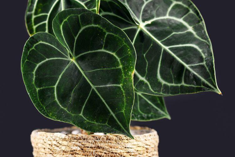 Ilustrasi tanaman kuping gajah.