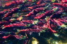Kena Gelombang Panas, Salmon di Columbia Seperti
