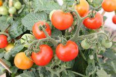 Kenapa Bagian Bawah Buah Tomat Membusuk? Penyebab dan Solusinya