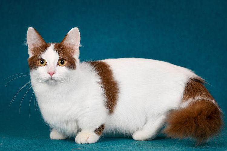 Ilustrasi kucing munchkin.