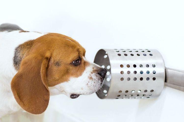 Seekor anjing jenis Beagles tengah mendeteksi sampel darah yang mengandung kanker dengan sampel darah yang normal.