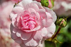 Tanah Seperti Apa yang Baik untuk Mawar? Ini Penjelasannya