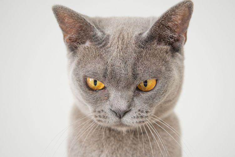 Ilustrasi kucing galak.