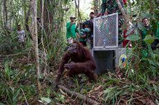 17 Orangutan Kembali Dilepasliarkan Setelah Jalani Rehabilitasi