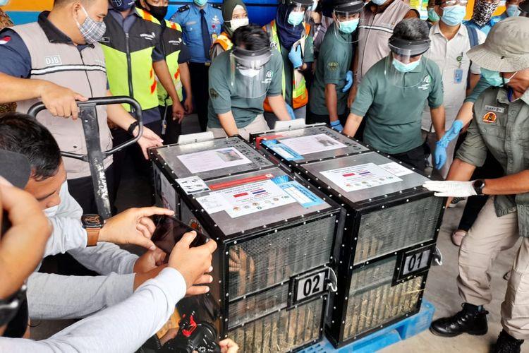 Dua Orangutan bernama Ung Aing dan Natalee yang dipulangkan dari Thailand karena menjadi korban perdagangan satwa