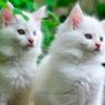 Tips Menjaga Bulu Kucing Tetap Putih