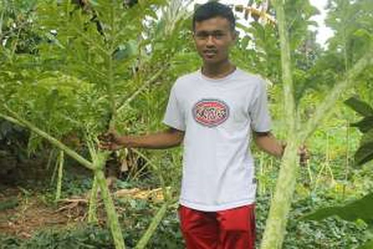 Tanaman Sueg, di mana umbinya bisa dijadikan sumber jajanan khas Bali yang bisa dijumpai di pertengahan tahun antara Juni hingga Juli di Desa Penglipuran, Kabupaten Bangli.