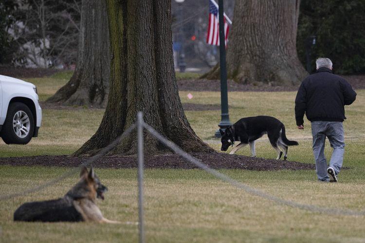 Foto yang diambil pada 25 Januari 2021 memperlihatkan dua anjing Presiden Amerika Serikat (AS) Joe Biden, Champ dan Major, berada di Sayap Selatan Gedung Putih, Washington. Biden memutuskan untuk memulangkan kedua anjing itu setelah Major dilaporkan mneggigit orang.