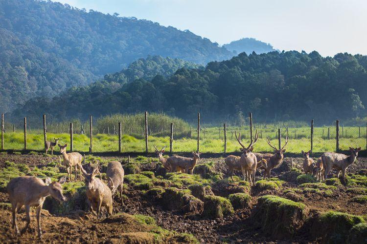 Suasana pagi hari di Ranca Upas, Ciwidey, Bandung Selatan, Jawa Barat. Kawasan yang luasnya lebih dari 200 hektar ini tidak hanya berfungsi sebagai area perkemahan, tetapi juga penangkaran rusa.