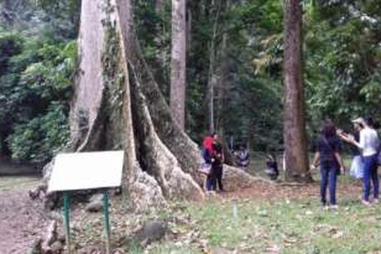 Pohon Kenari Babi menjadi spot selfie menarik bagi para wisatawan yang berkunjung ke Kebun Raya Bogor.