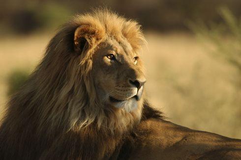 Asyik Bersafari di Afrika, Turis Ini Lengannya Robek Diserang Singa