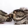 Bulu Beracun Mematikan, Tikus Jambul Afrika Ini bisa Bunuh Manusia