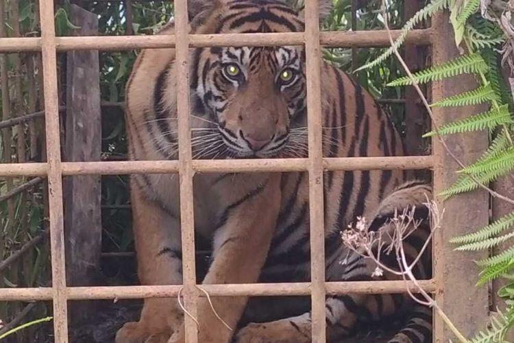 Dua ekor harimau sumatera masuk perangkap BKSDA di Solok, Sumatera Barat