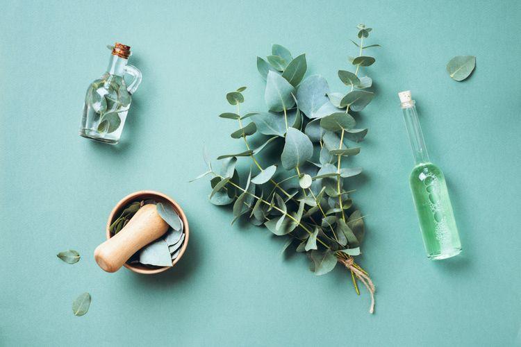 Ilustrasi daun eucalyptus