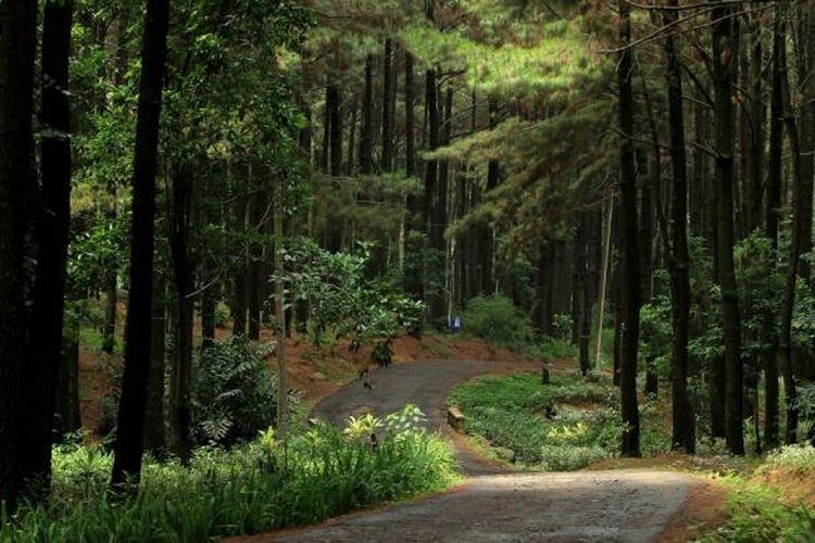 Hutan pinus di Taman Wisata Alam Gunung Pancar, Bogor.