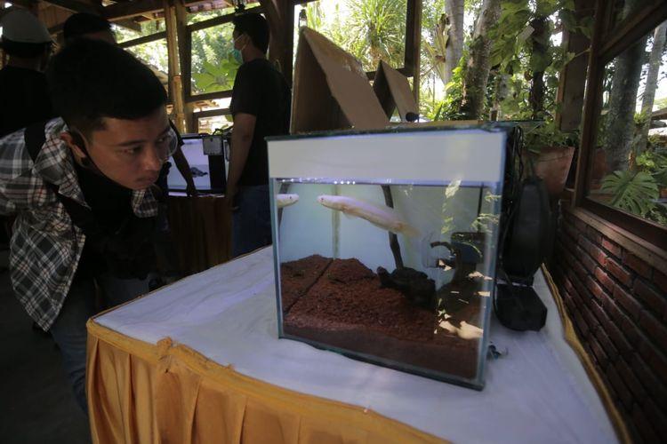 Ikan gabus yang dipamerkan oleh Bali Channa Lover di Bron Cafe, Denpasar, Sabtu (7/11/2020).