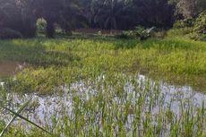 Ratusan Hektar Sawah di Kampar Terancam Gagal Panen Akibat Banjir