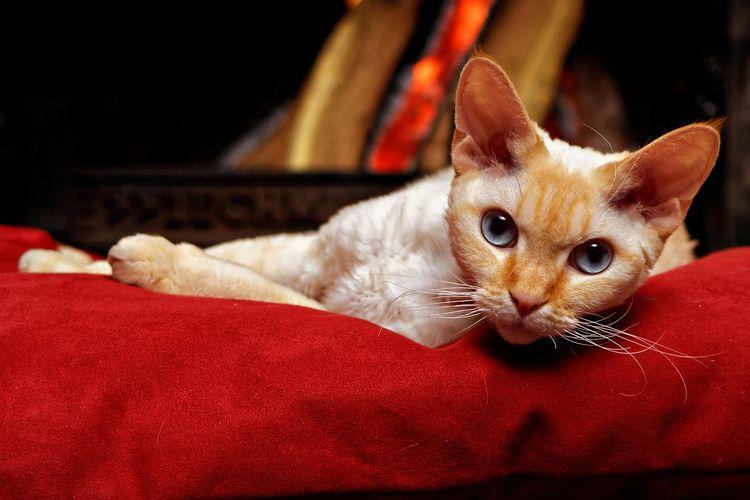 Ilustrasi kucing jenis Devon Rex.