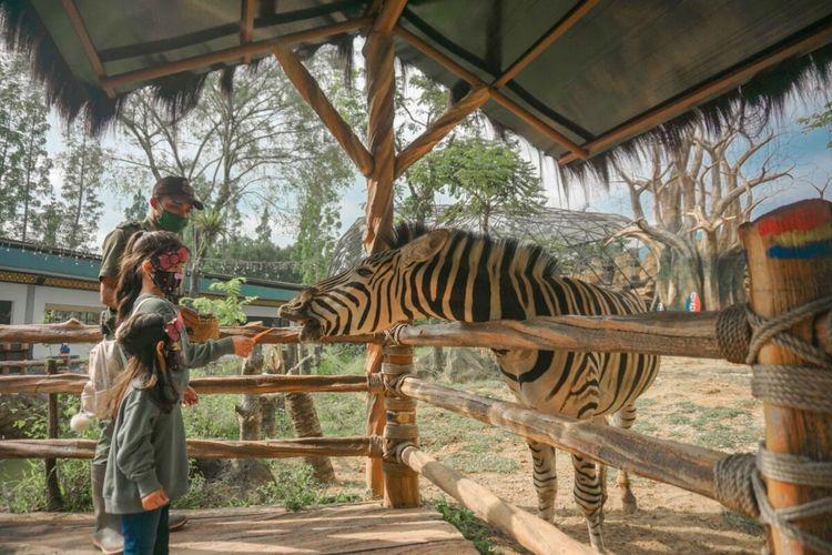 Seorang pengunjung sedang memberi makan seekor Zebra di De'savanna Restaurant, Puncak, Bogor, Jawa Barat, Rabu (23/9/2020). De'savanna Restaurant memberikan pengalaman berbeda dimana pengunjung dapat berinteraksi dan melihat langsung koleksi satwa asal Afrika sambil menyantap hidangan.