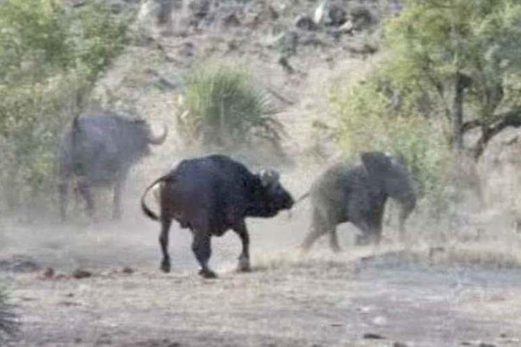 Setelah lolos dari maut karena diselamatkan para banteng, seekor bayi gajah akhirnya bisa menyusul kelompoknya.
